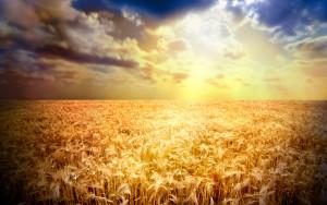 Wheat-Fields-1920X1200-Wallpaper-37